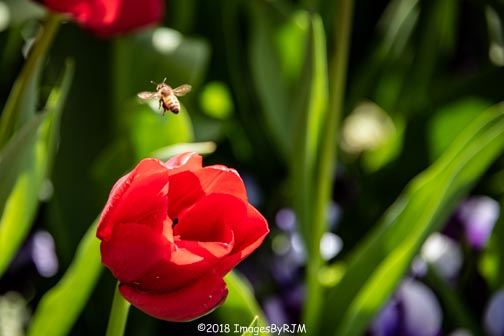 Crystal Hermitage | Ananda Village | Nevada City | Northern California | gardens | tulips | wheelchair accessible | honey bee