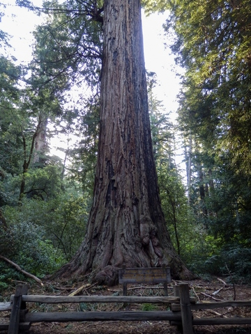 Father of the Forest, Big Basin Redwoods State Park, Santa Cruz Mountains, Redwood Loop Nature Trail, Northern California, wheelchair accessible, redwood forest, Images by RJM