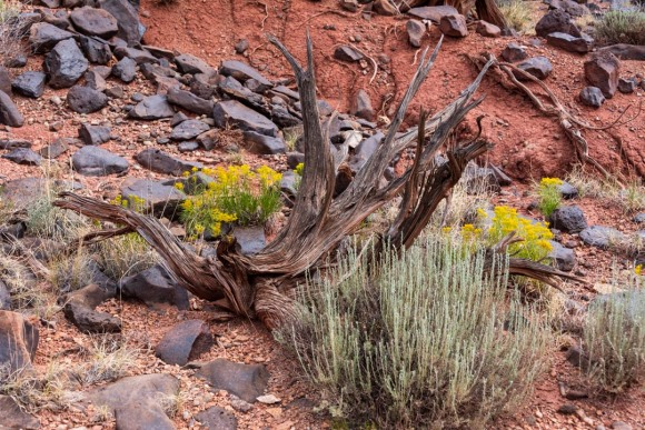 Landscape closeup image of desert rocks, bushes, dried wood and yellow flowers, with red dirt in background.