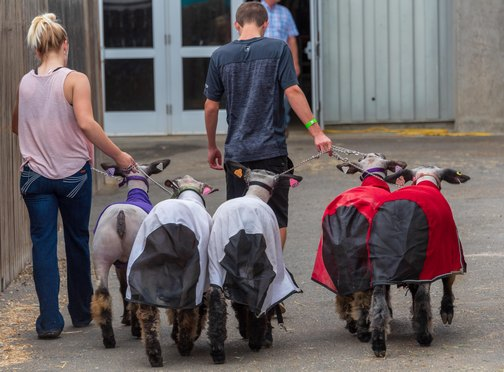 California State Fair | Don't Miss A Moment | Sheep | Livestock | Agriculture | Sacramento | Images By RJM