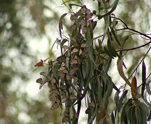 Monarch Butterfies, Pacific Grove,