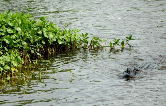 swamp tour, Lafitte, Louisiana, alligator, April 2015, ©2015 ImagesByRJM