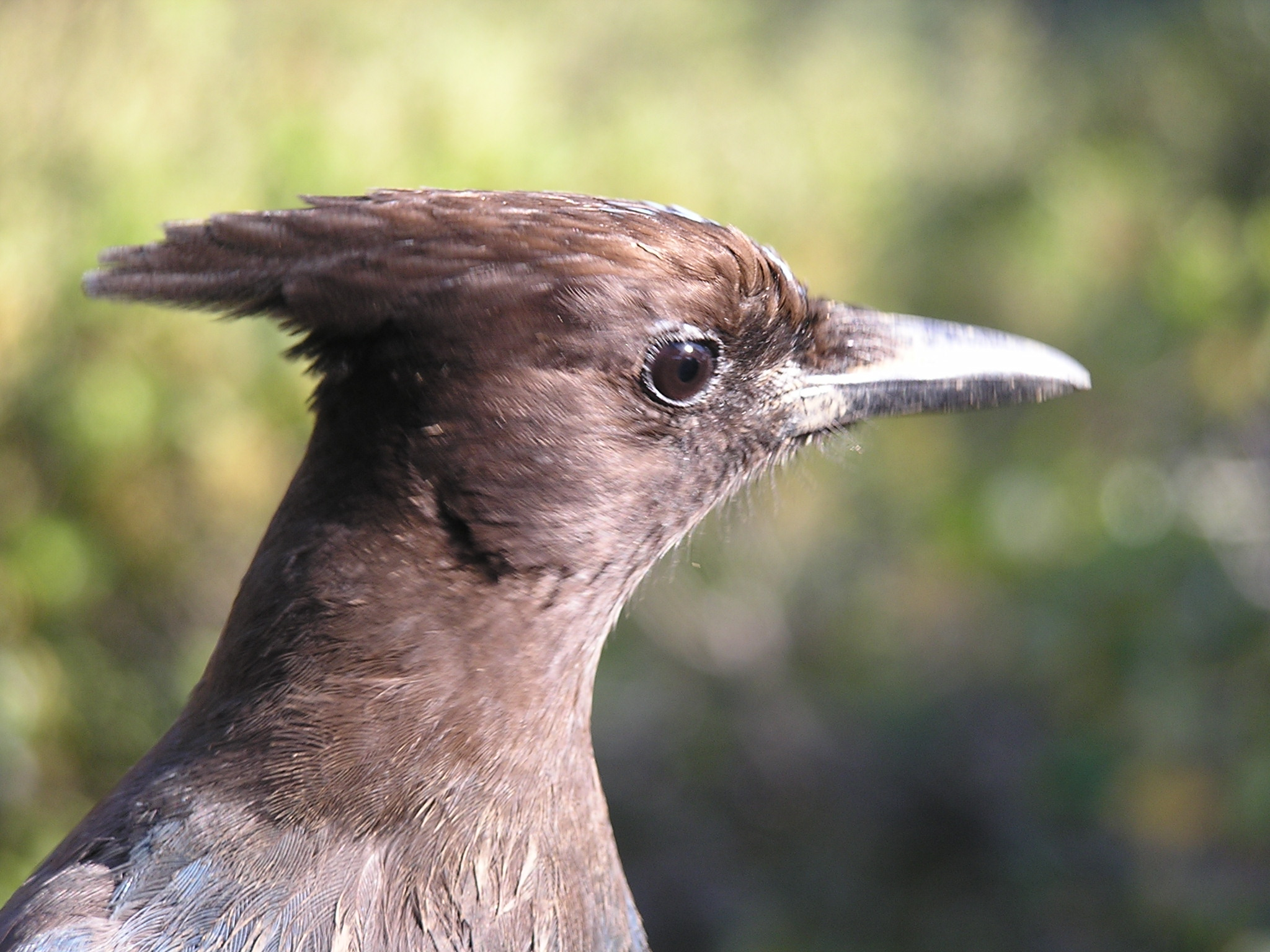 Closeup profile of head of brown bird, with bokeh background.