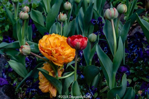 Crystal Hermitage | Ananda Village | Nevada City | Northern California | gardens | tulips | peony-tulip