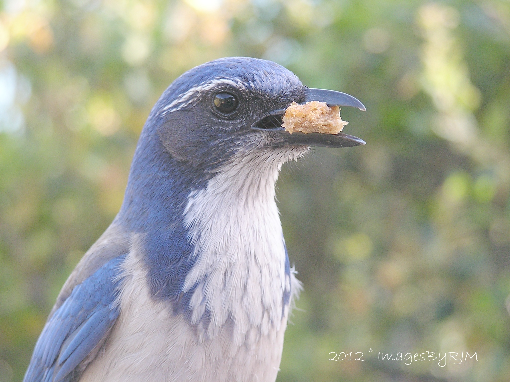 Closeup of blue and white bird holding crumb of bread in its beak, with bokeh background.