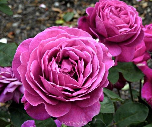 Rose Garden, Lower Garden