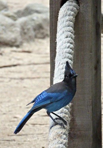 scrub jay, blue bird, Monarch Butterfly sanctuary